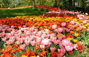XIX ediz. Messer Tulipano