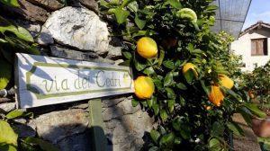 Gli agrumi di Cannero Riviera
