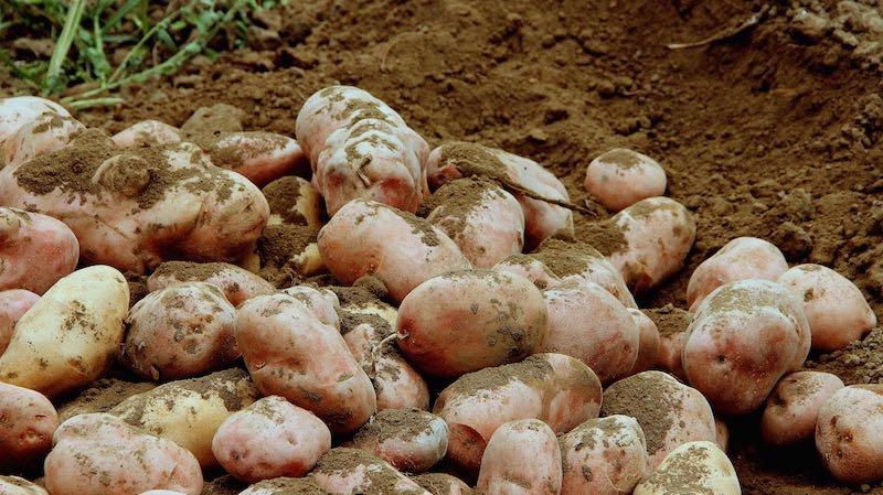 Taburno Experience - La patata interrata