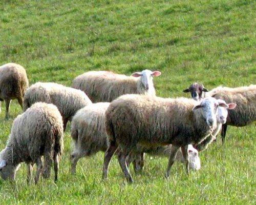 Sagra dell'agnellone e del castrato Qc