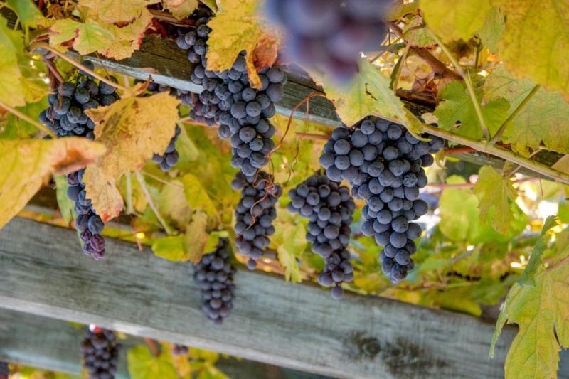 62° Sagra dell'uva
